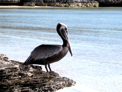 Brown Pelican fishing the flats