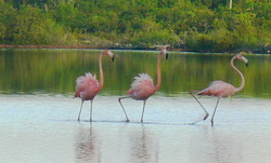 Flamingos wading in Turtle Lake on Provo Turks and Caicos Islands