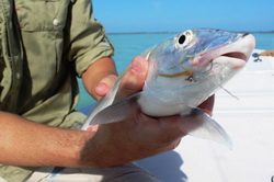 Bonefish on the fly on fishing flats in the Turks and Caicos Islands